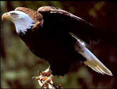 Eagle Courtesy of http://www.firstpeople.us/