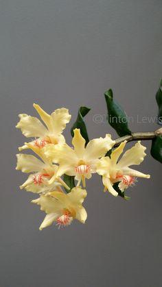 Dendrobium lowii (Borneo/Sarawak