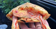 This is an Albino Rhinoclemmys pulcherrima, also known as the painted wood turtle. Albino Wood Turtles are one of the rarest turtle morph. Les Reptiles, Amphibians, Mammals, Rare Pictures, Funny Pictures, Funny Pics, Turtle Names, Dragons, Wood Turtle