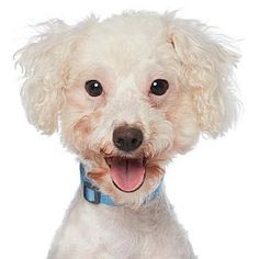Los Angeles, CA - Miniature Poodle Mix. Meet Sandy, a dog for adoption. http://www.adoptapet.com/pet/17431509-los-angeles-california-miniature-poodle-mix