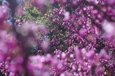 Redbud is liked by one or two types of native bees, and photographers. Hard to tell who gets more of a buzz.