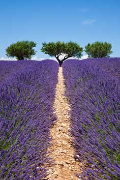 Lavender way -  Valensole - France