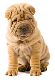 Go Back To China! (Chinese Shar-Pei) They are of the rarest and oldest breed in the world. It was not very long ago that the Shar-Pei was on the verge of extinction. Only 5,000 remained on the planet. The American Kennel Club did not even recognize the breed until the early 90's.