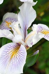 Florals Art - White Iris 2  by Amy Fose on www.fineartamerica.com