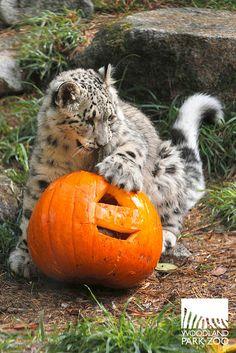 Pumpkin nibbling by woodland park zoo, via Flickr