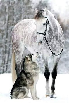 Dapple grey horse and husky dog in the snow. Just beautiful!