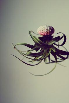 Thillandsien, die originellste Pflanze der Welt