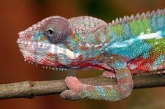 Panther Chameleon by Daniel Halfmann