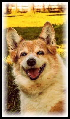 cute happy gorgi dog #photo by celdredg #dog dogs puppy animal pet funny http://itz-my.com