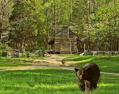 A springtime view of the John Oliver cabin in Cades Cove. The dogwood blossom and split rail fence lend a down home feeling to any  visitor. Rocky, an old battle scared black bear is a veteran of the Cove and has been digitally inserted into the landscape.