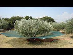 Αυστραλοί μαζεύουν ελιές με την πιο εκπληκτική πατέντα