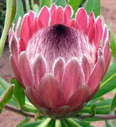 Protea Neriifolia - Indigenous South African Protea - 5 Seeds | Seeds for Africa