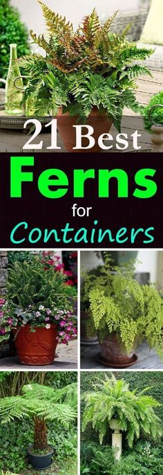 21 Best Ferns for Containers | Gardening Viral #uniquehouseplants #shadecontainergardeningideas