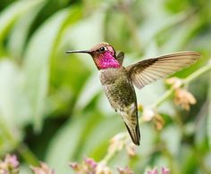 Pollinator of the day: hummingbirds. If red's your favorite color, you have a lot in common with #hummingbirds. Drawn to brightly colored flowers, hummingbirds #pollinate wildflowers while they consume several times their weight in nectar every day. Help these beauties stay safe in your yard by keeping your domestic cats indoors at all times. #nationalpollinatorweek  Anna's hummingbird photo by Mick Thompson, @Mick Thompson1 via Flickr  #birdsofinstagram #pnwlife #annashummingbird #magenta…