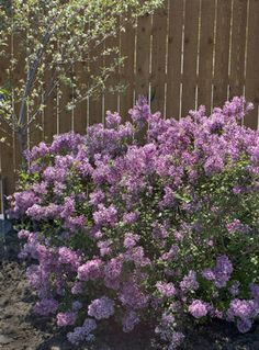 """Bloomerang Purple - Reblooming Lilac - Syringa x. It's the new """"Bloomerang"""" lilac. It's a small bush rather than the size of the typical lilac. It blooms first in the spring, and then re-blooms in the summer and stays until the first frost! Pruning Shrubs, Garden Shrubs, Flowering Shrubs, Trees And Shrubs, Garden Plants, Lilac Pruning, Walkway Garden, Roses Garden, Garden Edging"""