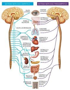 sistema-nervioso-simpatico-parasimpatico.jpg (554×712)