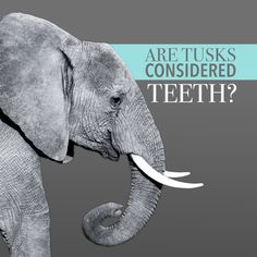 THE ANSWER IS YES! Elephant tusks are teeth, they're just very elongated incisors. Can you imagine having front teeth like that? #dfcadent #elephant #tusks #dentistry #funfacts