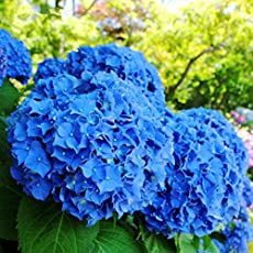 30 Particles / lot Flower Seeds Beautiful Hydrangea seeds Bonsai Plant for Home Garden Hydrangea Seeds, Hydrangea Bush, Hydrangea Macrophylla, Hydrangea Care, Hydrangea Flower, Flower Seeds, Growing Hydrangea, Blue Flowers, Flower Colors