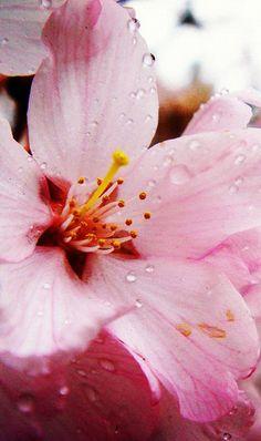 桜 #sakura #CherryBlossom