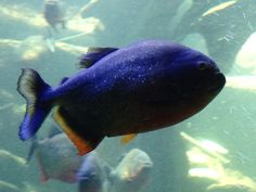 Piraya på Palma Aquarium