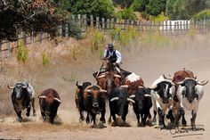 Faenas  de campo Barrel Racing, Show Jumping, Andalusia, Dressage, Cross Country, Cattle, Horses, Life, Ideas