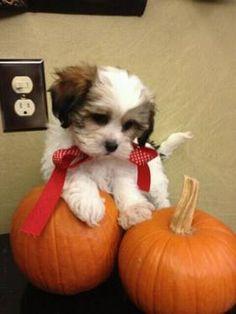 TEDDY BEAR Puppies! Shih Tzu Bichon Non Shed