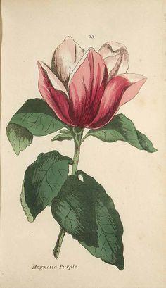 Magnolia liliiflora Desr. [as Magnolia purpurea Curtis] Moriarty, H.M., Viridarium: Coloured plates of greenhouse plants, 2n ed., t. 33 (1806)