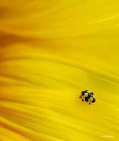 Yellow on Yellow / While the yellow of the flower and the ladybug are nearly the same, the black spots on the bug cause the yellow to appear darker than the surrounding colour from the flower. Mellow Yellow, Black N Yellow, Yellow Art, Color Yellow, Foto Macro, Especie Animal, Fotografia Macro, Yellow Fever, Yellow Brick Road