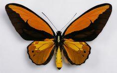 Ornithoptera croesus2