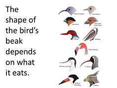 Short SS on how bird beaks are adapted to the food eaten by each specie. Grade 2 Science, Preschool Science, Teaching Science, Science For Kids, Science Activities, Science Projects, Teaching Kids, Birds For Kids, Animal Adaptations