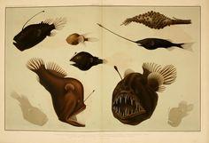 Wissenschaftliche Ergebnisse der Deutschen Tiefsee-Expedition auf dem Dampfer, bd.15, T.1  Jena,G. Fischer,1902-40  Biodiversitylibrary. Biodivlibrary. BHL. Biodiversity Heritage Library