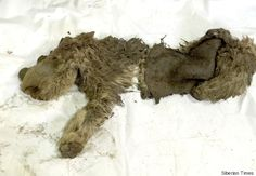 Baby Woolly Rhino Discovered In Siberia Is The First Ever Found / The Huffington Post By: Jacqueline Howard  2/25/15  Scientists are going gaga over the recent discovery of a baby woolly rhino.  The pristine specimen of the tiny extinct rhino - 18 mos at time of death, 10,000 years ago was discovered in permafrost along the bank of a stream in Siberia's Sakha Republic. The specimen includes the animal's wool, an ear, an eye, nostrils, and skull and mouth.