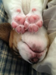 Sleepy Beagle - love those cute little pink paws!