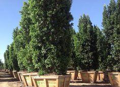 Ficus Nitida Columns (Indian Laurel)   Evergreen Trees - Moon Valley Nursery