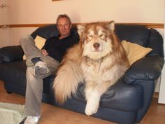This dog exists. It's a Giant Alaskan Malamute, and oh so gentle. But they do think they are lap dogs! Funny Animal Pictures, Funny Animals, Cute Animals, Animal Memes, Animal Humor, Large Animals, Random Pictures, Giant Alaskan Malamute, Alaskan Malamute