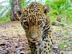 Felino curioso  Fotografia per gentile concessione Panthera    Un cucciolo di giaguaro scruta in una fototrappola sotto lo sguardo di un suo compagno in una piantagione di palma da olio in Colombia.