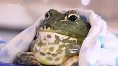 Pet frog swallows engagement ring