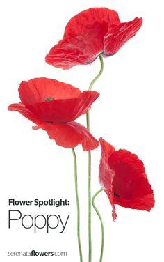 Flower Spotlight - Poppy