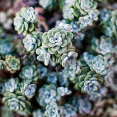 low growing succulents Sedum spathulifolium Cape Blanco Tiny blue-green leaves form tight rosettes on trailing stems. This low grower from California makes a great groundcover. Zones and Types Of Succulents, Growing Succulents, Cacti And Succulents, Planting Succulents, Succulent Landscaping, Yard Landscaping, Landscaping Ideas, Drought Resistant Plants, Drought Tolerant Landscape