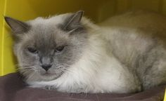 RESCUED>Intake: 9/7 Available: 9/13 NAME: Kiwi  ANIMAL ID: 33407082 BREED: Siamese mix  SEX: Spayed Female  EST. AGE: 2 yrs  Est Weight: 10 lbs Health: Came in extremely matted had to shave her Temperament: Friendly ADDITIONAL INFO:  RESCUE PULL FEE: $35