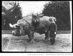Bibliothèque nationale de France. Animaux apprivoisés de Mr Wingfield à Ampthill [enfant à côté d'un cochon sellé] : [photographie de presse] / [Agence Rol] - 1914
