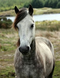 Connemarapony, grey, Dream horse