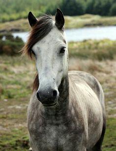 Connemarapony, grey, Dream horse