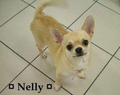 Nelly is an adoptable Chihuahua Dog in Anjou, QC. Nelly est une chihuahua femelle de 3 ans. Elle nous a ete laissee en adoption par un eleveur pour retraite de reproduction. C'est un petit chien bien ...