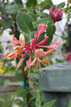 Gold Flame Honeysuckle,Lonicera x heckrottii 'Gold Flame', copyright © almostedenplants.com Hummingbird Plants, How To Attract Hummingbirds, Climbing, Vines, Flora, Yard, Patio, Rock Climbing, Mountaineering