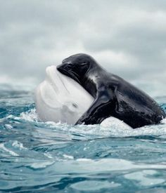The incredible shot showing the rare embrace between a Seal and a Beluga Whale