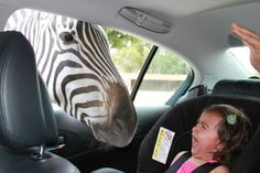 zebra scaring a kid in a car