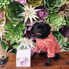 Are you macarON or macarOFF?      #pug #pugs #pugsofinstagram #pugpuppies #puglife #pugpuppy #puggle #pugglesofinstagram #hypedog #hypedogcollection #blackpugs #cutepuglovers #dogsofinstagram #dog #dogstagram #dogs #doggy #dogswag #pugdog #pugdogs #instapug #ilovemypug #puglovers #pugloversclub #pugsnotdrugs #pugmania #petsofinstagram #petstagram #tlopvblo #blackpug  Are you macarON or macarOFF?      #pug #pugs #pugsofinstagram #pugpuppies #puglife #pugpuppy #puggle #pugglesofinstagram… Pug Dogs, Pug Puppies, Black Pug, Cute Pugs, Pug Life, French Bulldog, Pets, Animals, Instagram