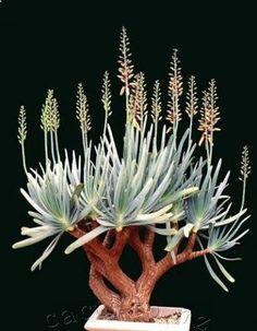 Aloe plicatilis - gardenfuzzgarden.com