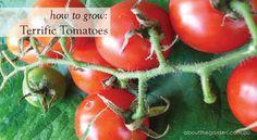 How to grow: terrific tomatoes in your Australian garden.      #grow #tomato #aboutthegarden